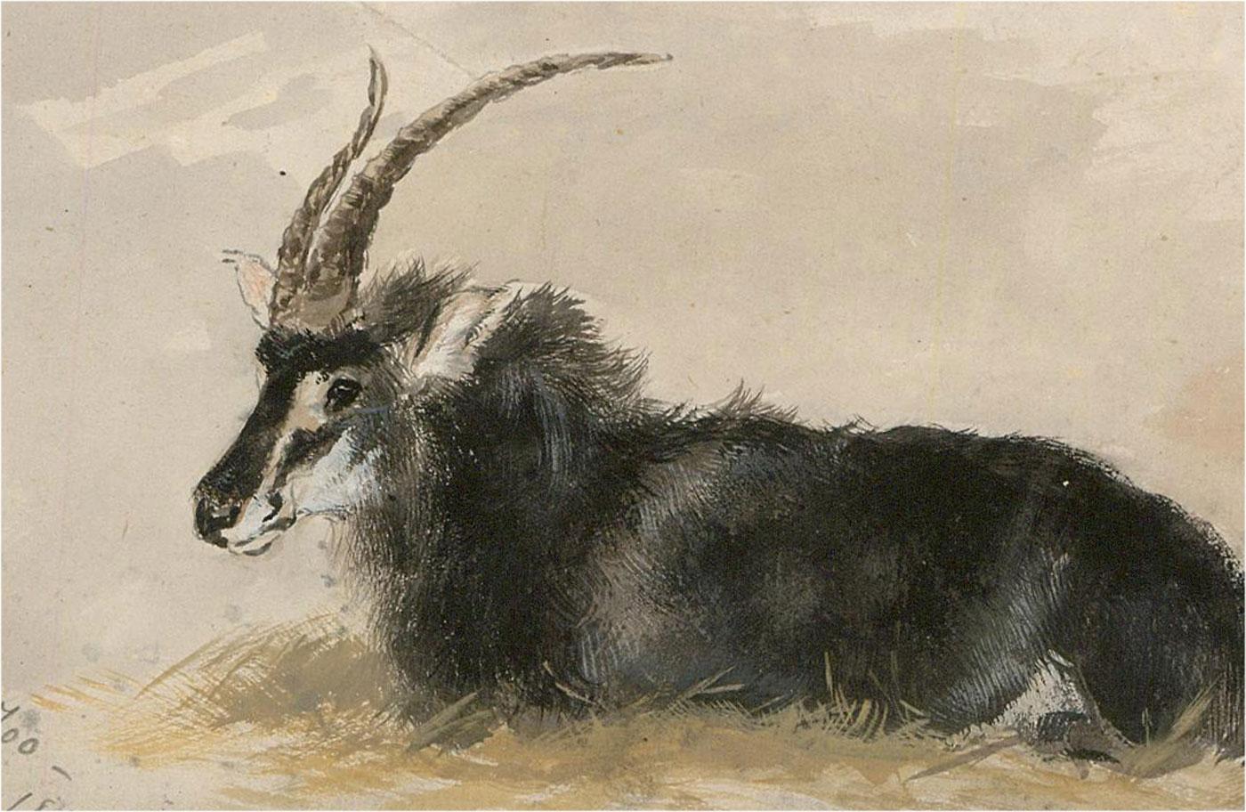 1880 Watercolour - Sable Antelope