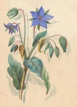 Three Early 20th Century Watercolours - Cornflowers, Pansies, Buttercups